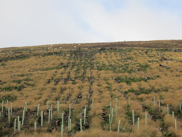 Replanted woodland, Glensax
