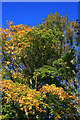 SK4833 : Field Maple in autumn colours by David Lally