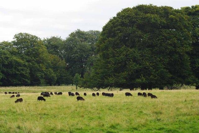 Black Sheep in Tatton Park
