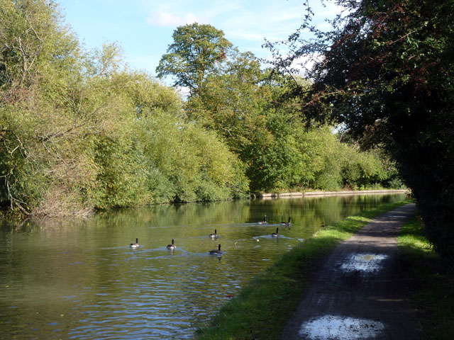 Canada Geese on Grand Union Canal