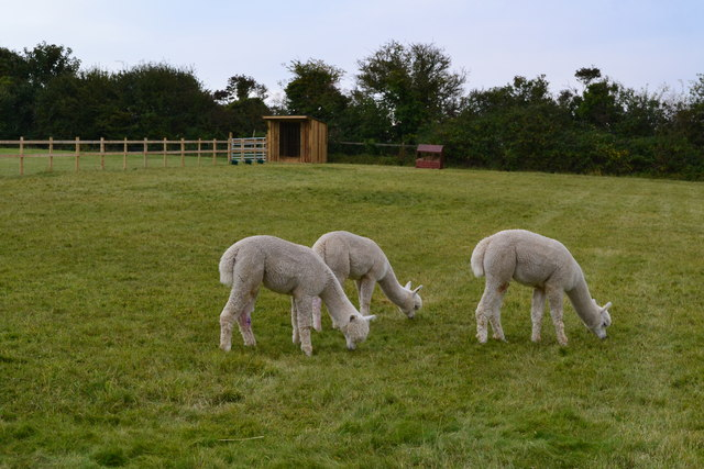Alpacas grazing beside the footpath