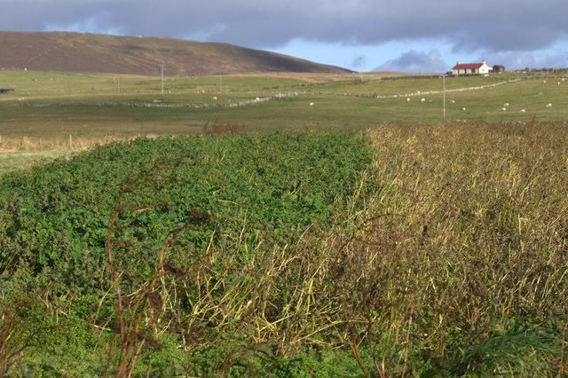 Crop at Clibberswick