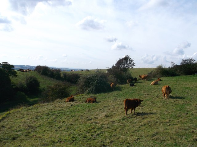 Cattle on North Downs Way