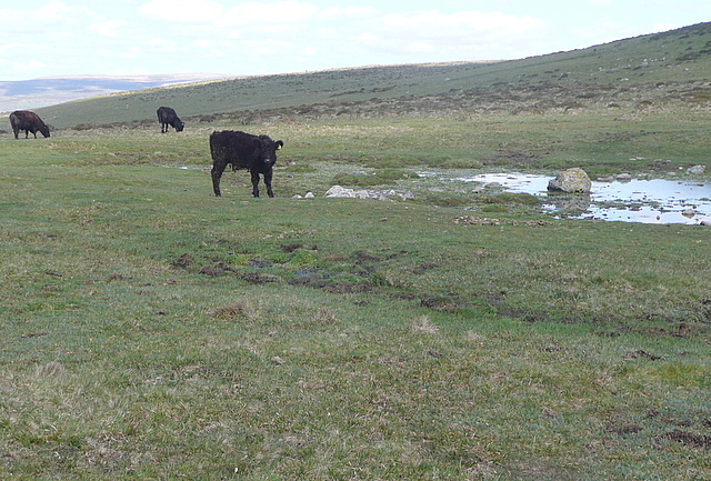 Cattle at Black Pool