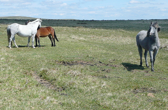 Ponies on Beacon Plain