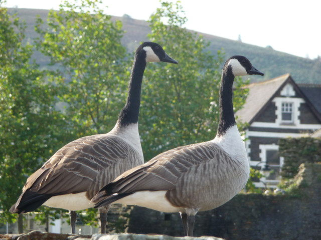 Canada Geese at Caerphilly Castle