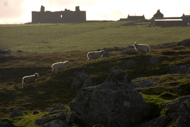 Sheep on Ham Ness