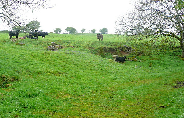 Cattle near Corringdon Ball