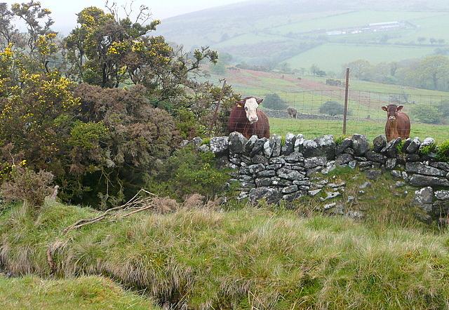 Cattle near Merrifield