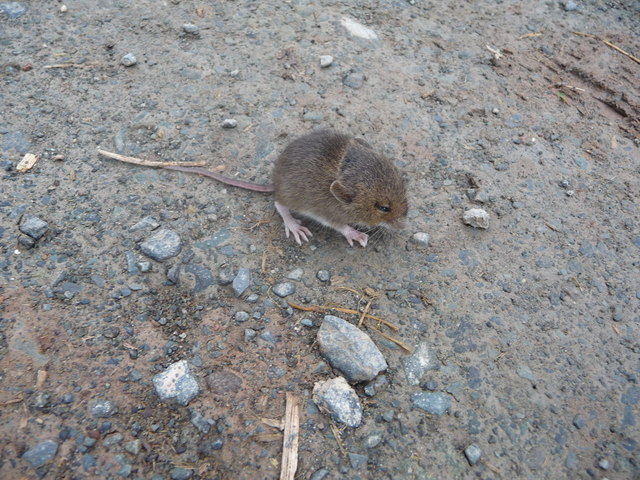 Bank Vole on the track
