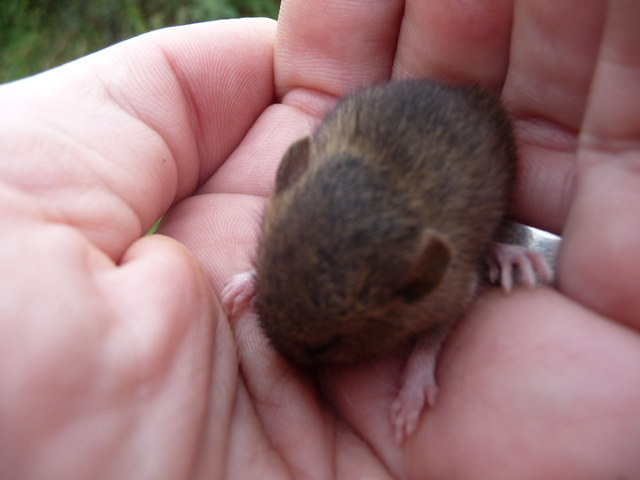A Bank Vole in the hand is worth two in the bush...