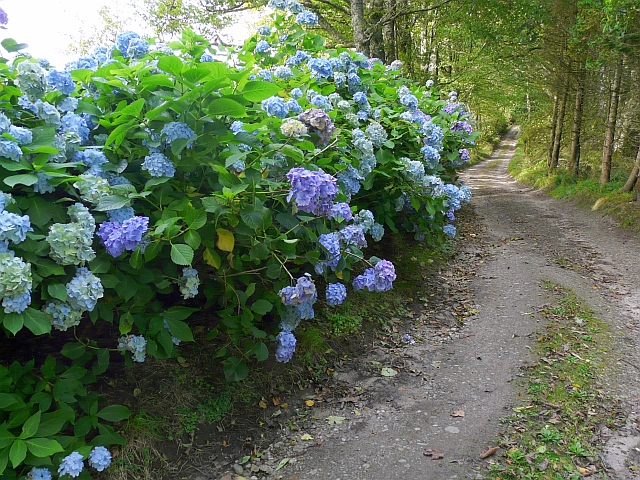 Hydrangeas by footpath to Campbell's Glen