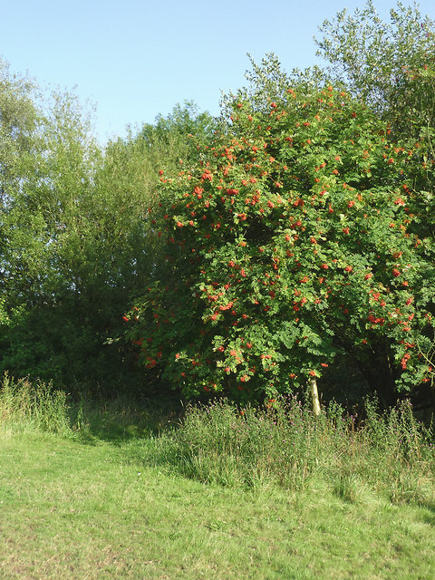 Rowan tree in Harding's Wood, Staffordshire