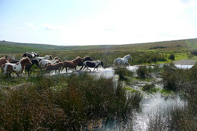 Stampeding ponies (1)