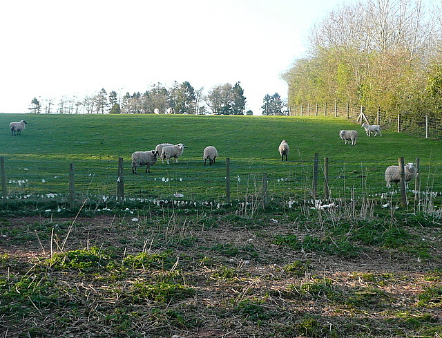 Sheep at Troedyrharn