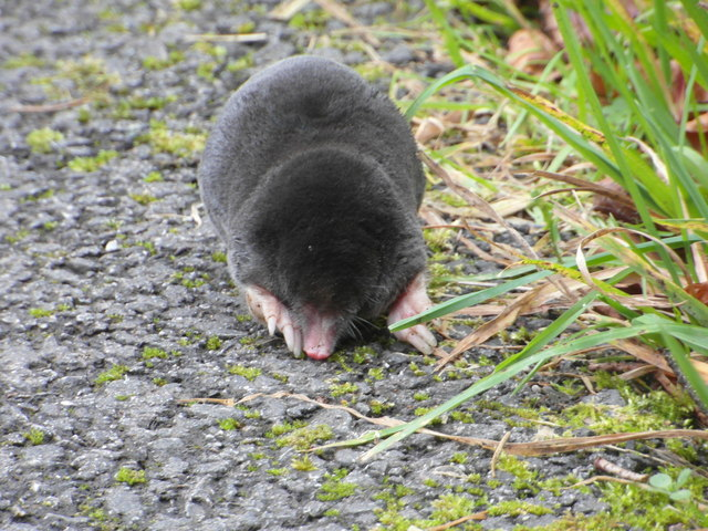 A mole.....
