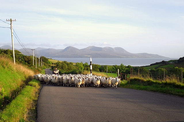 Flock of sheep on the move