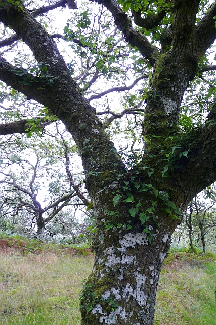 Oak tree with epiphytes, claonaig Wood