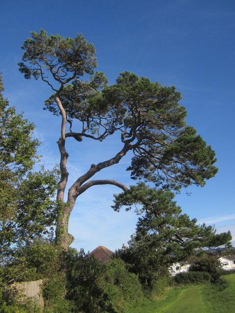 Pine tree, Armada Park