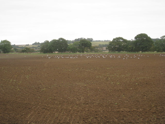 Field with gulls