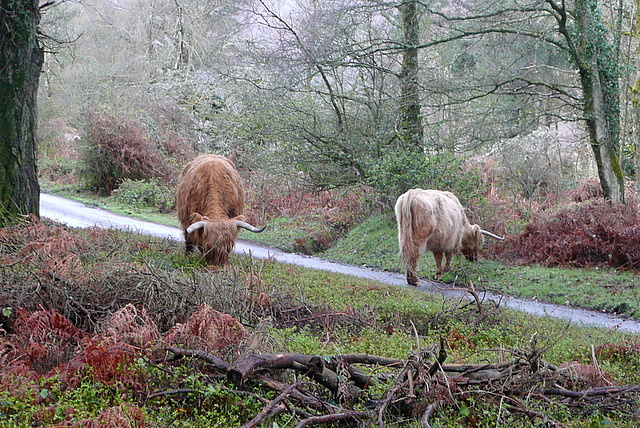 Highland cattle at Webber's Post
