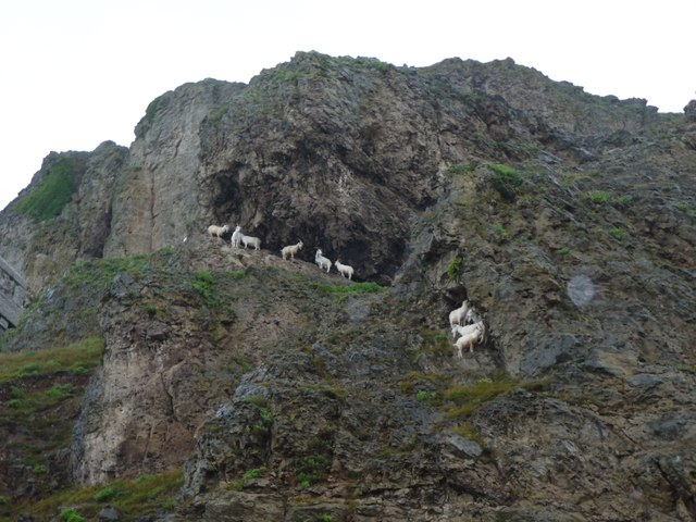 Goats shelter under Great Orme