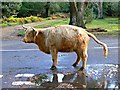 SU2617 : A Highland cow takes a comfort break in the New Forest, Hampshire by Brian Robert Marshall