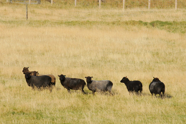 Shetland sheep, Norwick