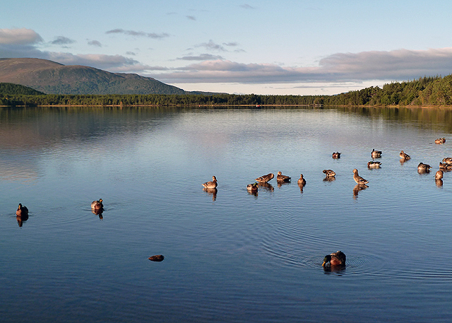 Mallard ducks on Loch Morlich