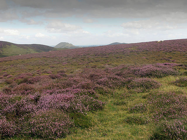 Heather on Packetstone Hill