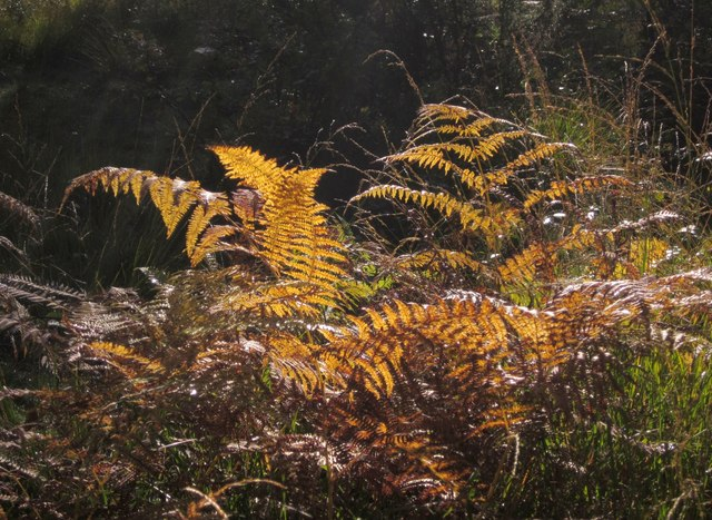 Bracken fronds, Wimbledon Common