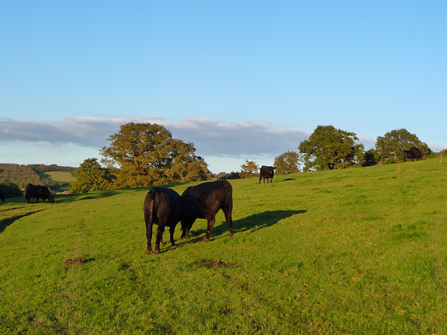 Cattle below Cockshot Hill