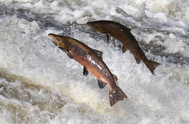 Jumping salmon at Murray's Cauld, Philiphaugh