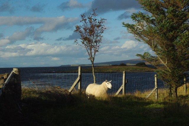 Stray sheep by rowan tree
