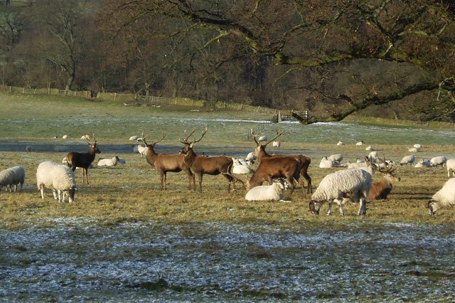 Sheep and deer in Chatsworth Park