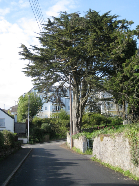 Monterey Cypress, top of Ferndale Road