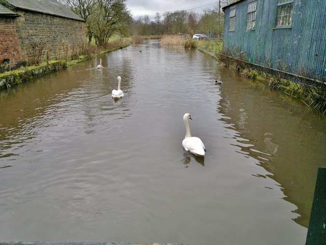 Swans at Caudwell's Mill