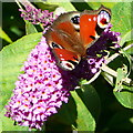 SP2121 : Butterfly and buddleia by Graham Horn