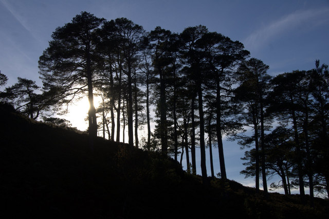 Scots Pines in the sun, Glen Affric