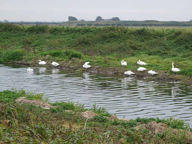 Swans beside the South Delph