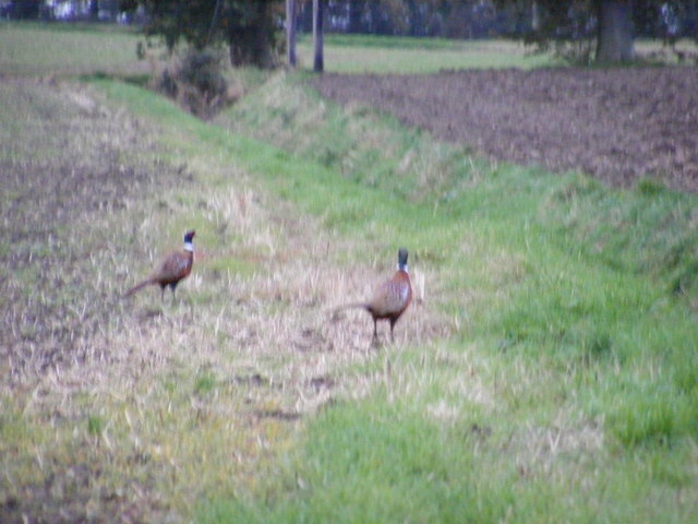Two Cock Pheasants in a field