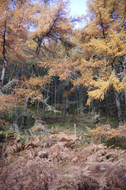 Larches and bracken, Balmore, Strathglass
