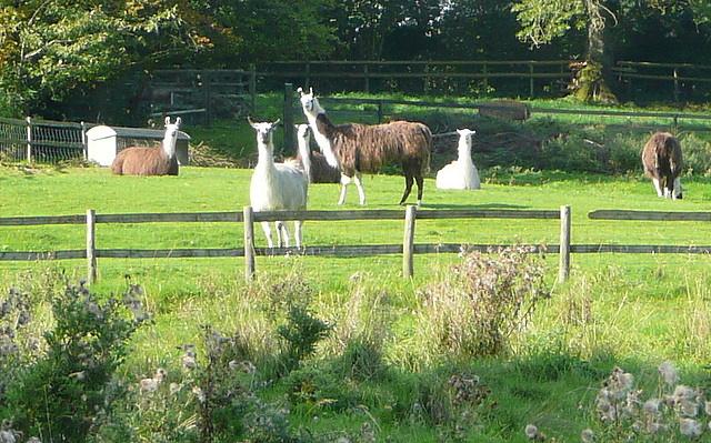 Llamas near Fifield
