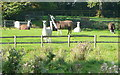 SP2319 : Llamas near Fifield by Graham Horn