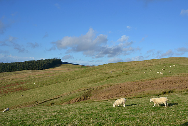 Sheep on Lan Goch