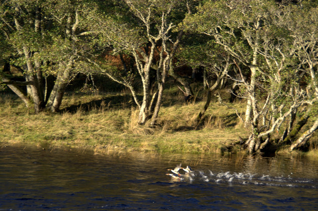 Goosanders (Mergus merganser) on the River Beauly at Erchless