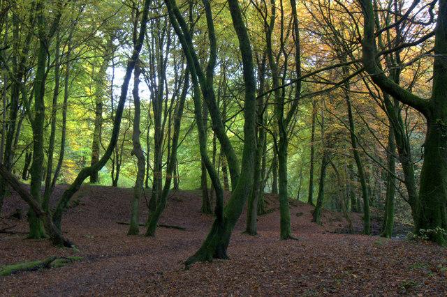 Beech woodland, Den o' Alyth
