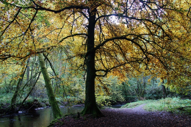 Autumn beech tree in Den o' Alyth