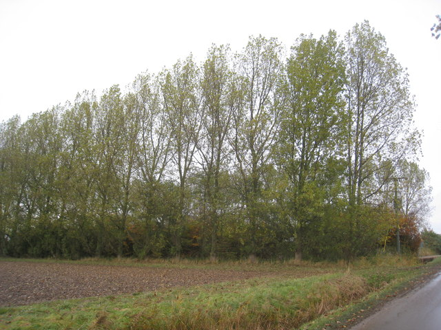 Poplar trees at North Cotes Sewage works