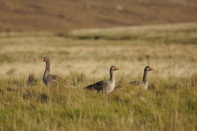 Greylag Geese (Anser anser), Baltasound